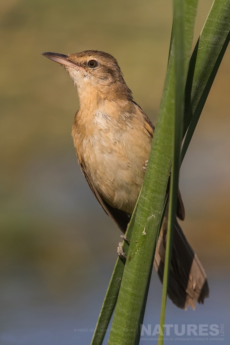 One Of The Great Reed Warblers Perched, Quite Appropriately, On A Reed   Photographed On The Estate Used For The NaturesLens Spanish Birds Of Toledo Photography Holiday