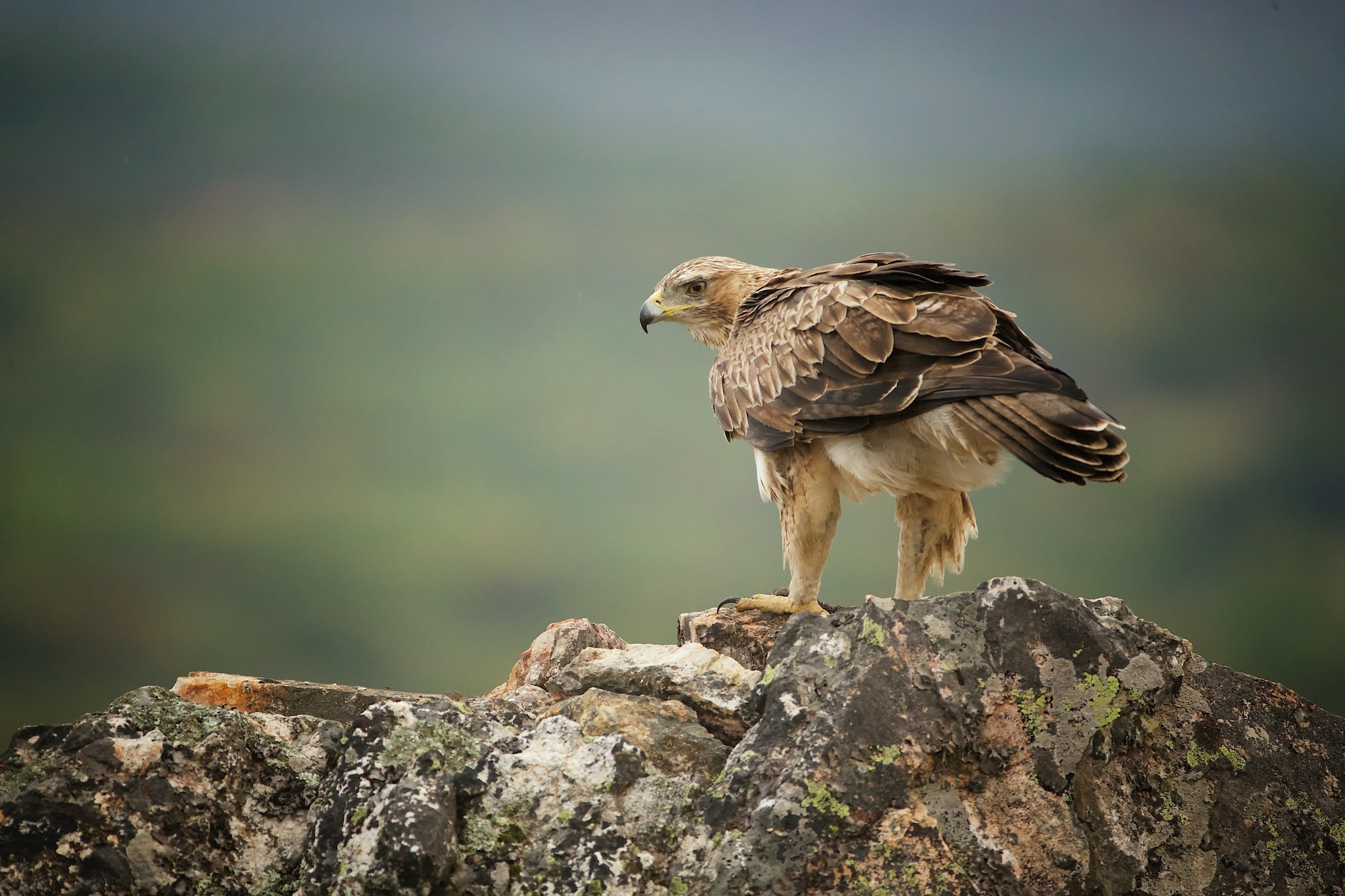 One Of The Impressive Bonelli's Eagles Perched On A Tree Overlooking The Estate Below   Photographed On The Estate Used For The NaturesLens Eagles Of Extremadura Photography Holiday.jpg