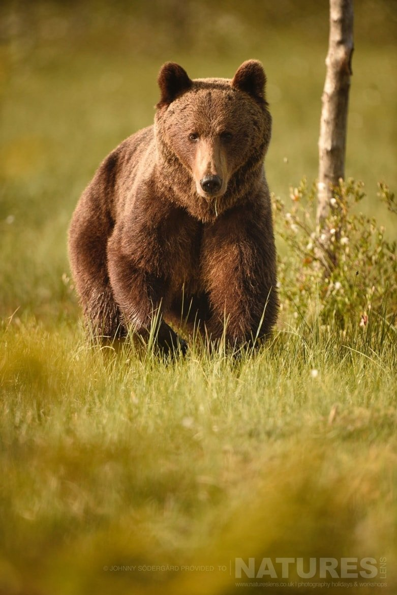 One Of The Large Bears Bathed In Golden Light Amongst The Cotton Grass   Photographed By Johnny Södergård During The NaturesLens Wild Brown Bears Of Finland Photography Holiday