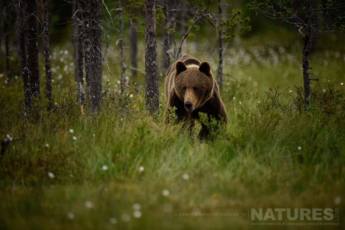 One Of The Large Bears Emerges From The Russian Forests   Photographed By Johnny Södergård During The NaturesLens Wild Brown Bears Of Finland Photography Holiday