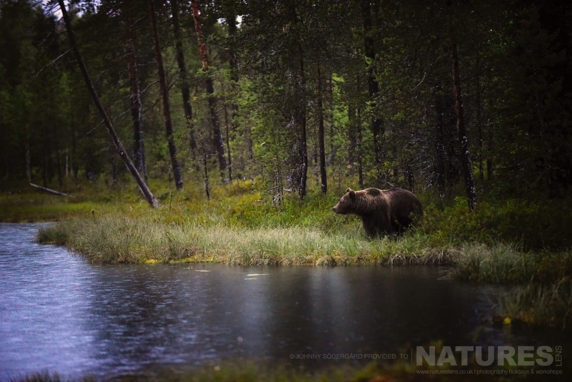 One Of The Large Bears Pauses Alongside The Lake   Photographed By Johnny Södergård During The NaturesLens Wild Brown Bears Of Finland Photography Holiday