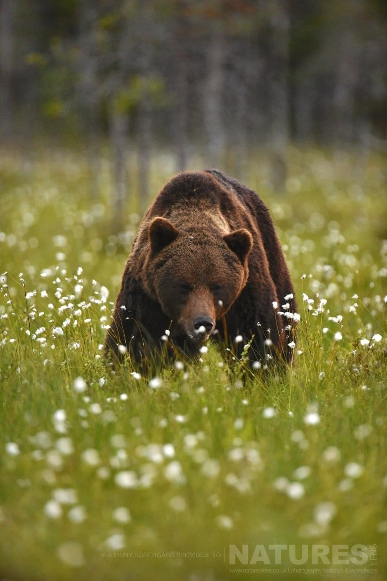 One Of The Large Bears Rim Amongst The Cotton Grass   Photographed By Johnny Södergård During The NaturesLens Wild Brown Bears Of Finland Photography Holiday