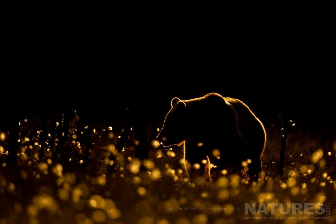 One Of The Large Bears Rim Lit In Golden Light Amongst The Cotton Grass   Photographed By Johnny Södergård During The NaturesLens Wild Brown Bears Of Finland Photography Holiday
