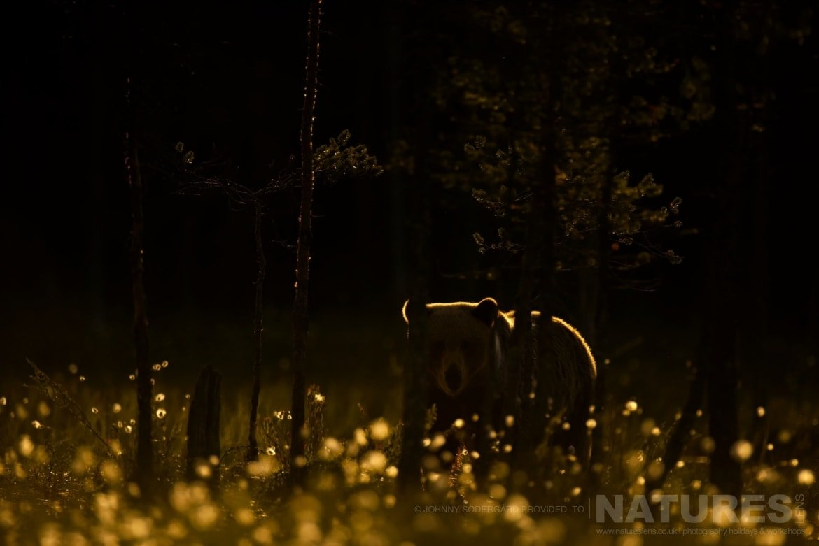 One Of The Large Bears Rim Lit In Golden Light Amongst The Trees Of The Taiga   Photographed By Johnny Södergård During The NaturesLens Wild Brown Bears Of Finland Photography Holiday