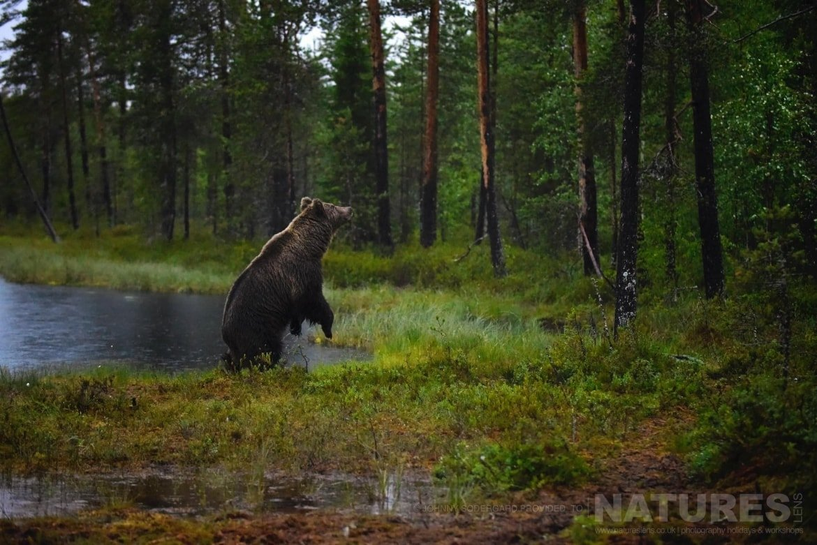 One Of The Large Bears Stands On It's Back Legs Alongside The Lake   Photographed By Johnny Södergård During The NaturesLens Wild Brown Bears Of Finland Photography Holiday