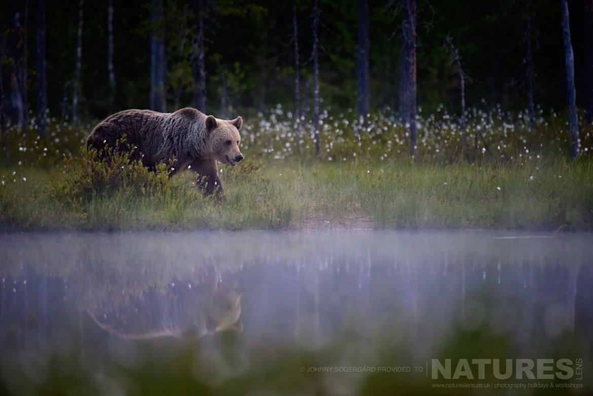 One Of The Large Bears Walks Alongside & Is Reflected Within The Lake   Photographed By Johnny Södergård During The NaturesLens Wild Brown Bears Of Finland Photography Holiday