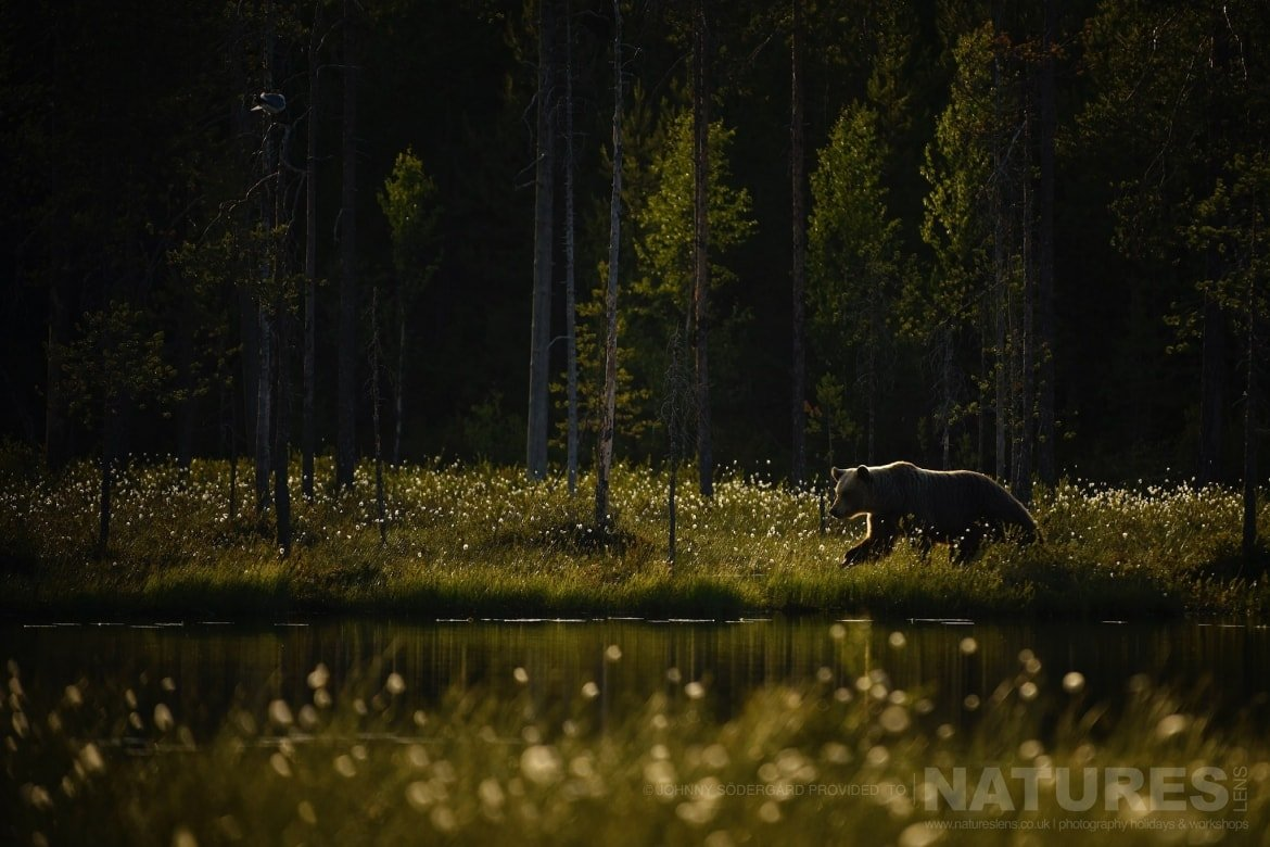 One Of The Large Bears Walks Alongside The Lake   Photographed By Johnny Södergård During The NaturesLens Wild Brown Bears Of Finland Photography Holiday