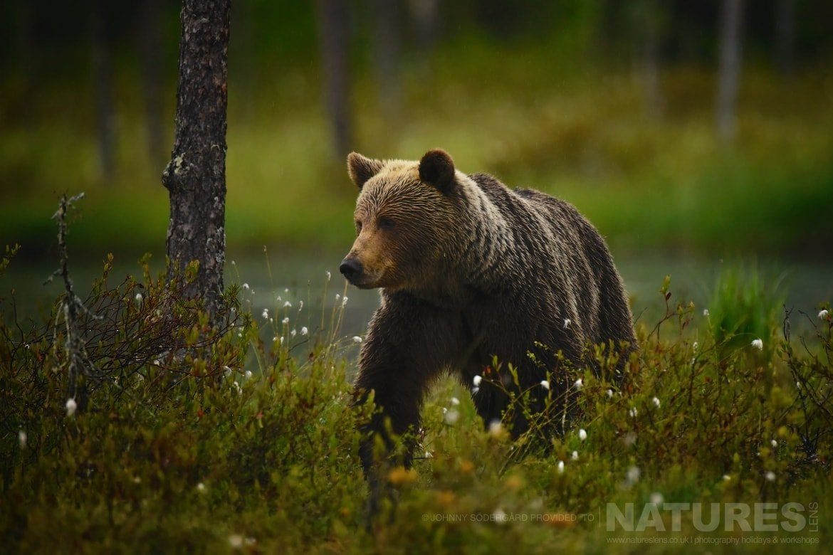 One Of The Large Wild Brown Bears   Photographed By Johnny Södergård During The NaturesLens Wild Brown Bears Of Finland Photography Holiday