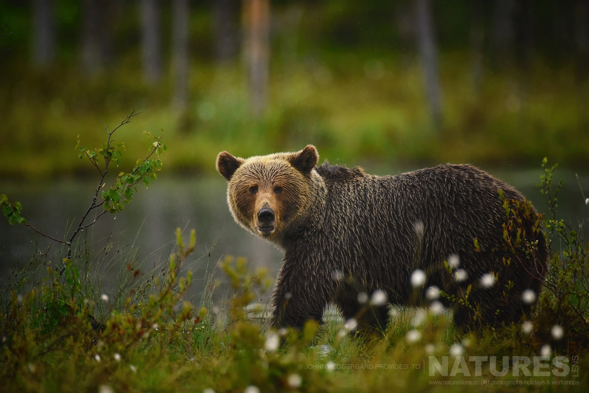 One Of The Large Wild Brown Bears Stares Directly At The Photography Hide   Photographed By Johnny Södergård During The NaturesLens Wild Brown Bears Of Finland Photography Holiday