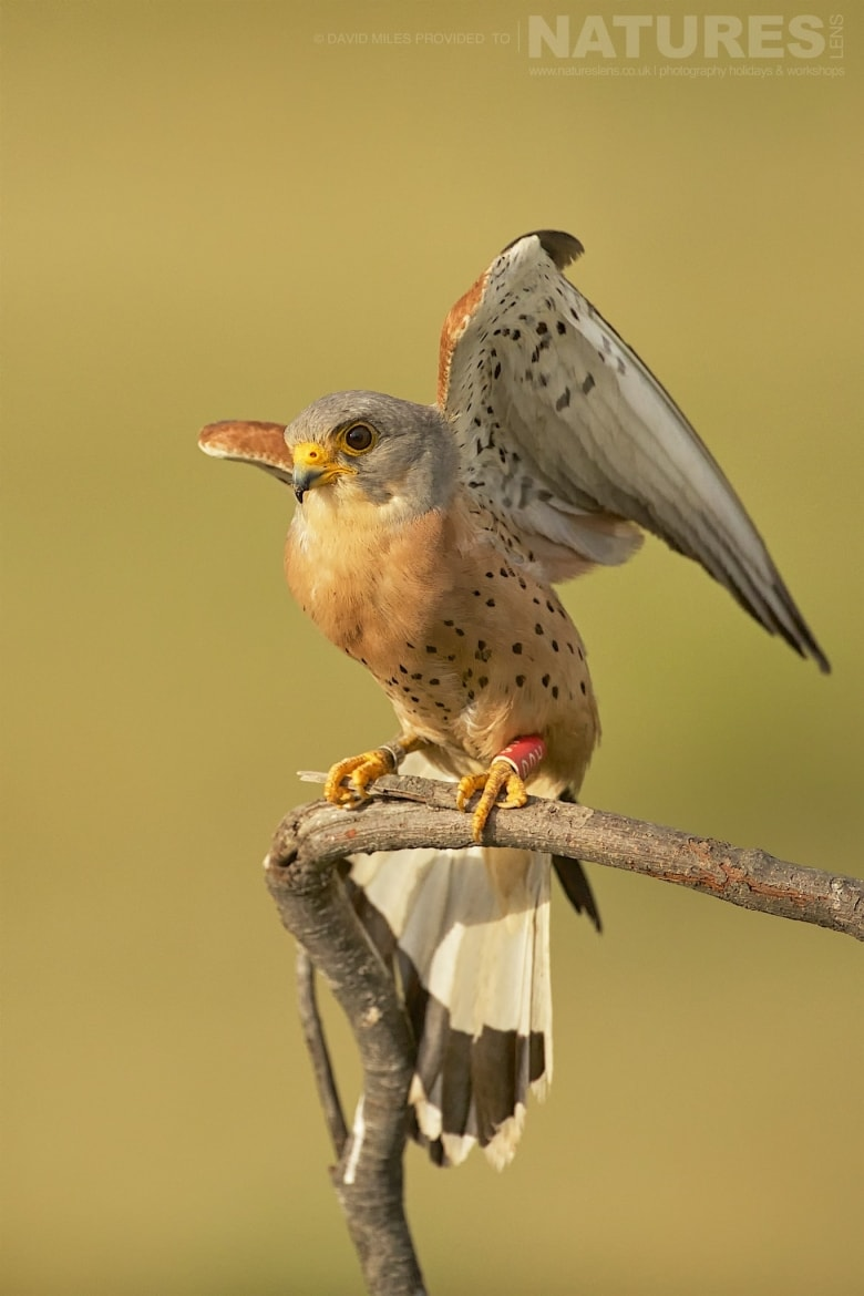 One Of The Lesser Kestrels, Photographed From The Dedicated Tower Hide Photographed On The Estate Used For The NaturesLens Eagles Of Extremadura Photography Holiday