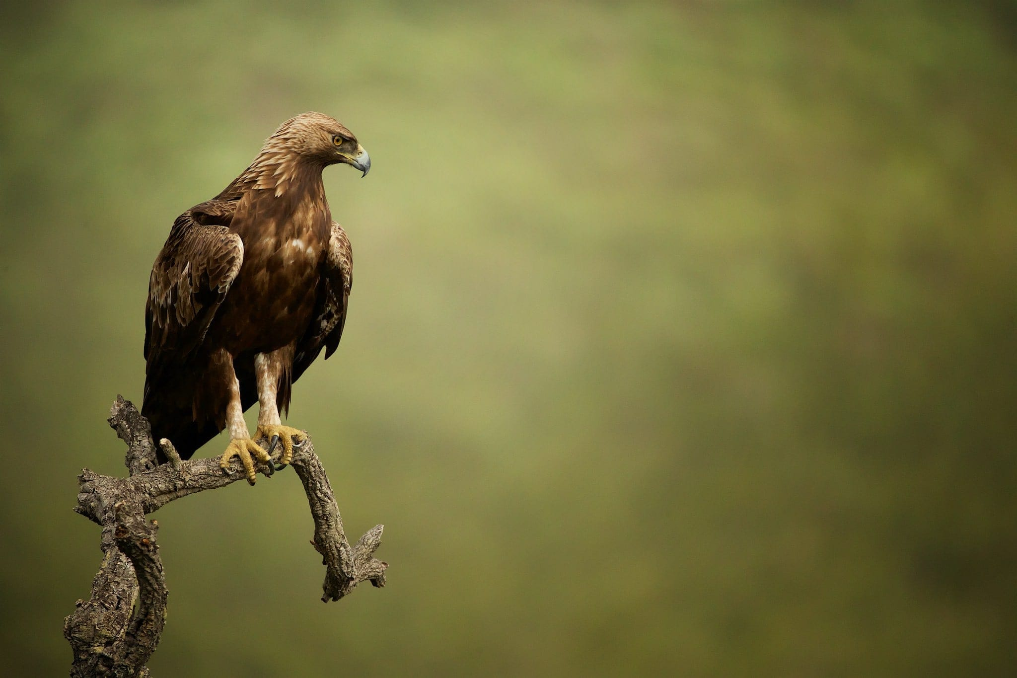 One Of The Magnificent Golden Eagles Perched On A Tree Overlooking The Estate Below   Photographed On The Estate Used For The NaturesLens Eagles Of Extremadura Photography Holiday.jpg