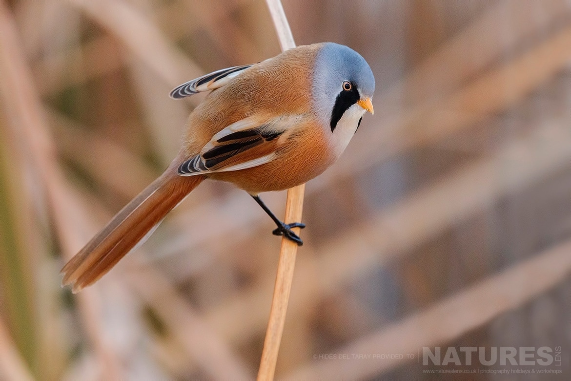 One Of The Male Bearded Reedlings Perched On A Reed Photographed On The Estate Used For The NaturesLens Spanish Birds Of Toledo Photography Holiday