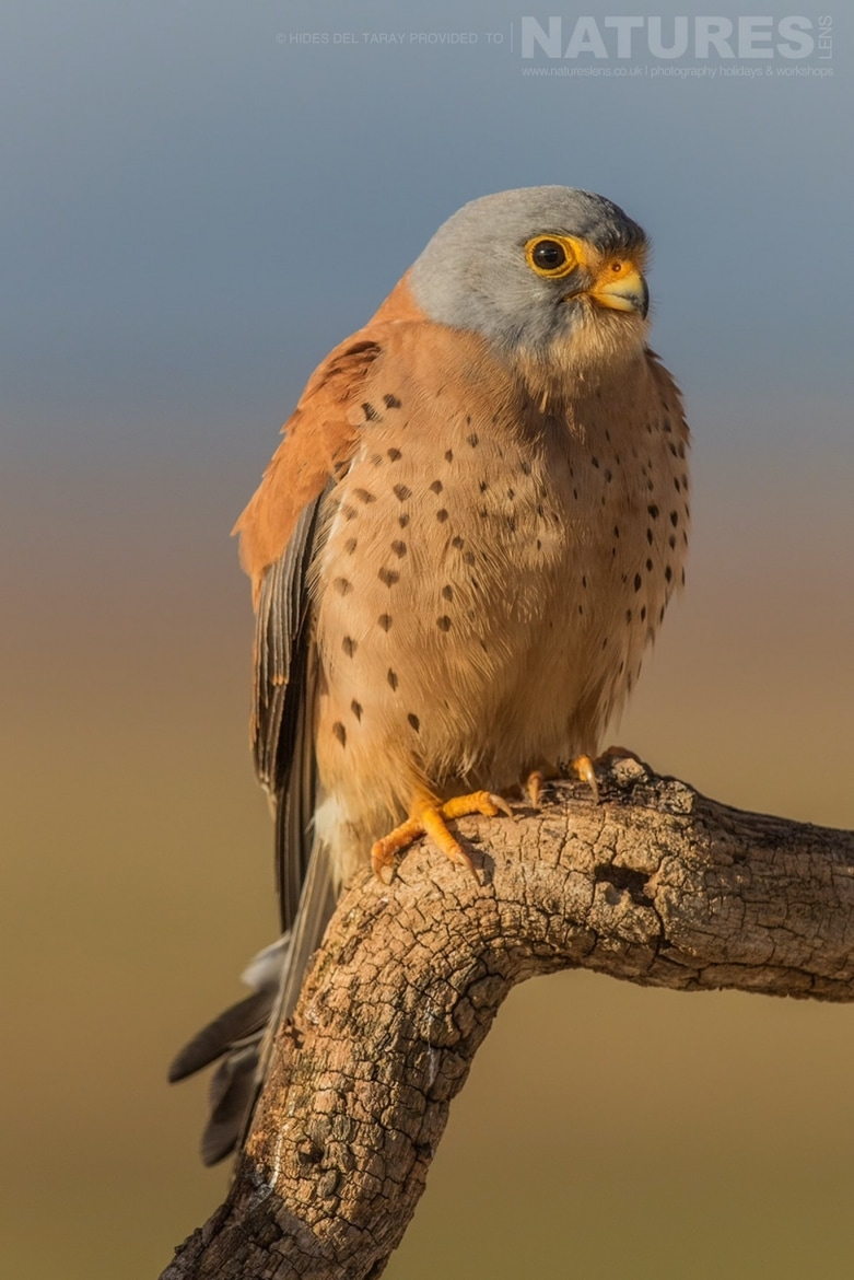 One Of The Male Lesser Kestrels   Photographed On The Estate Used For The NaturesLens Spanish Birds Of Toledo Photography Holiday
