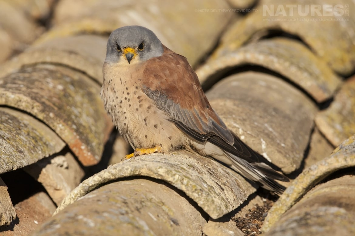 One Of The Male Lesser Kestrels On The Rooftop   Photographed On The Estate Used For The NaturesLens Spanish Birds Of Toledo Photography Holiday