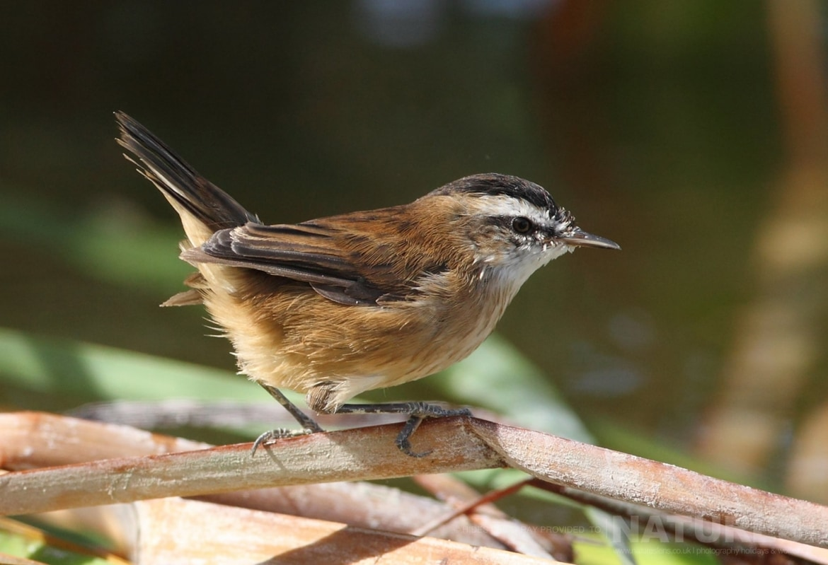 One Of The Many Different Types Of Chat Found In The Reed Beds Of The Estate Photographed On The Estate Used For The NaturesLens Spanish Birds Of Toledo Photography Holiday