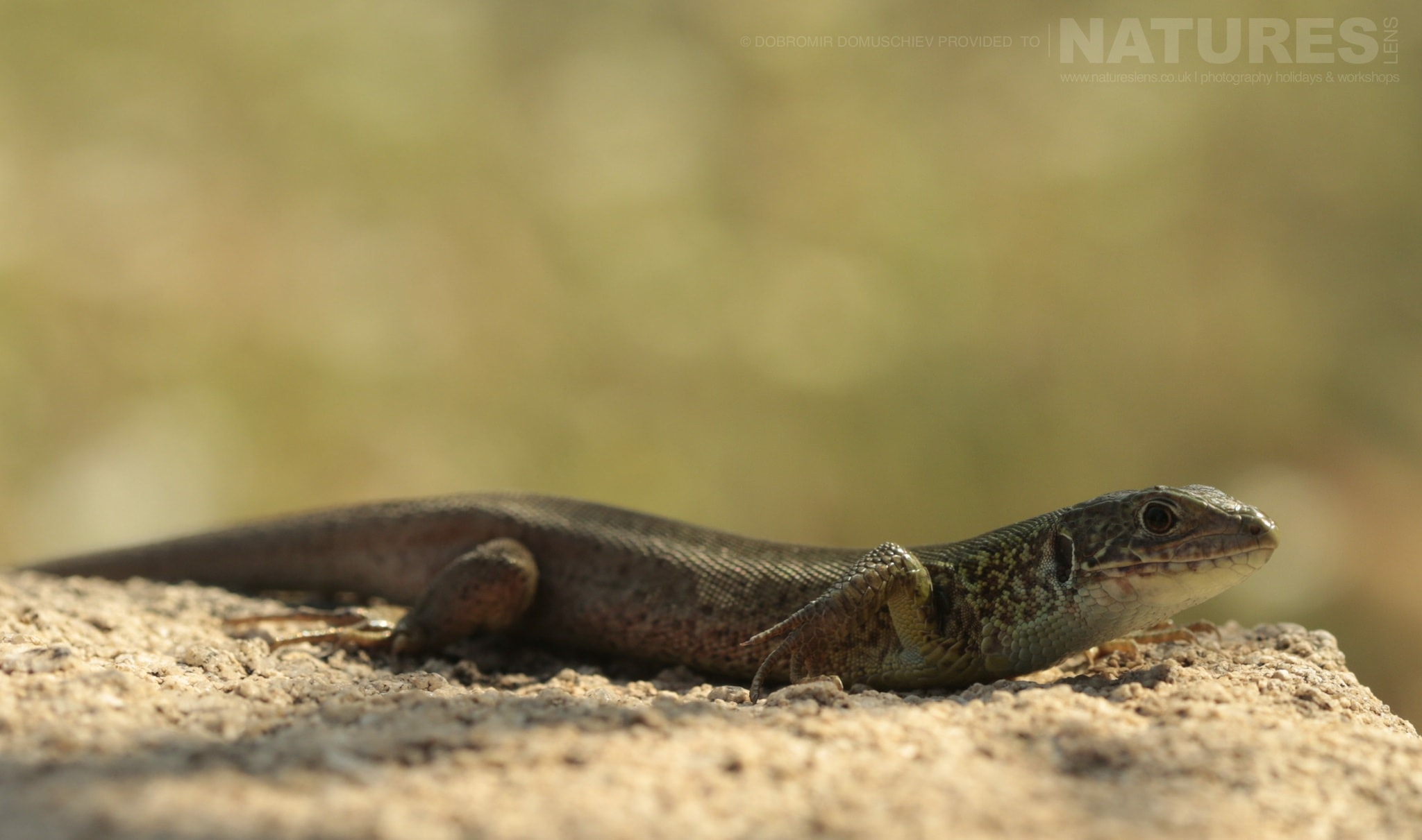 One Of The Many Types Of Lizard Photographed On A Photography Holiday To The Same Regions As The NaturesLens Butterflies & Macro Photography Of Bulgaria Photography Holiday