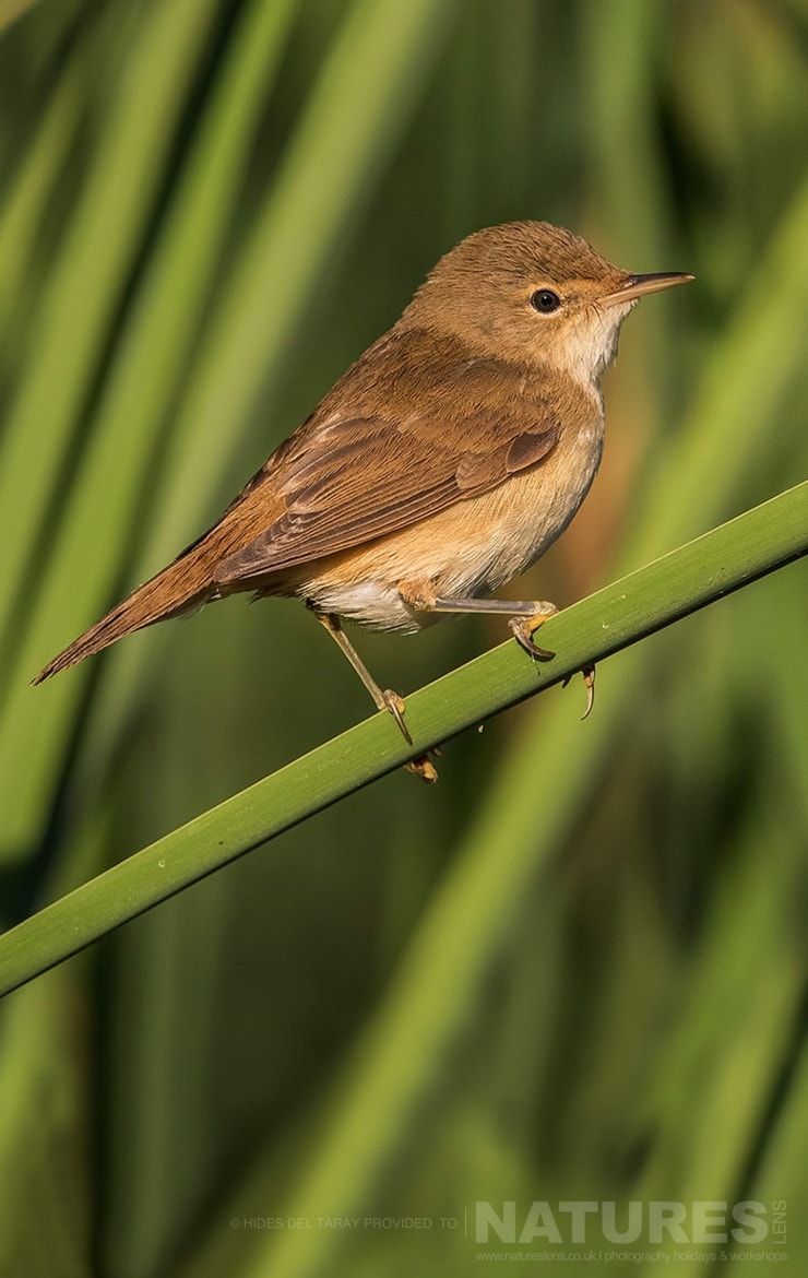 One Of The Warblers Perched, Quite Appropriately, On A Reed Photographed On The Estate Used For The NaturesLens Spanish Birds Of Toledo Photography Holiday