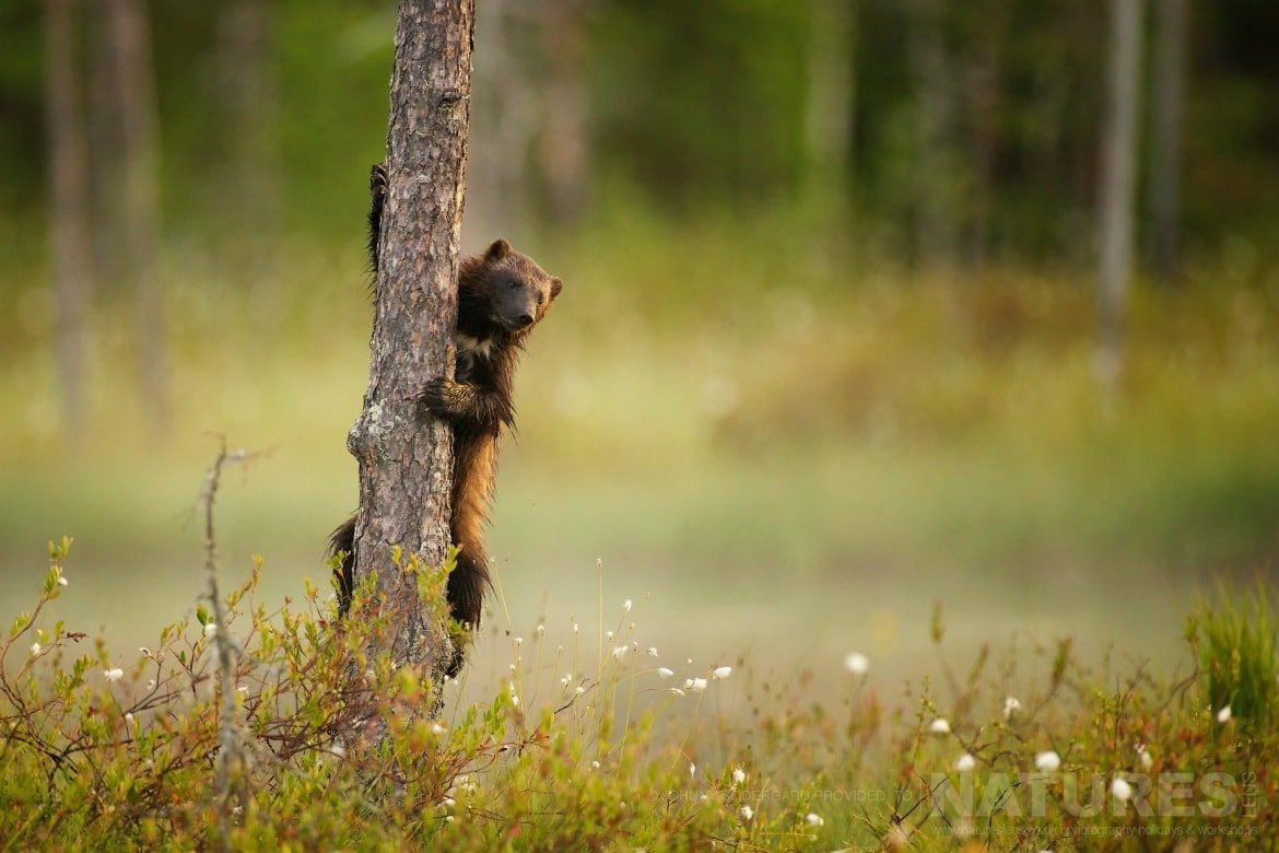 One Of The Wolverine Peers Around A Tree   Photographed By Johnny Södergård During The NaturesLens Wild Brown Bears Of Finland Photography Holiday