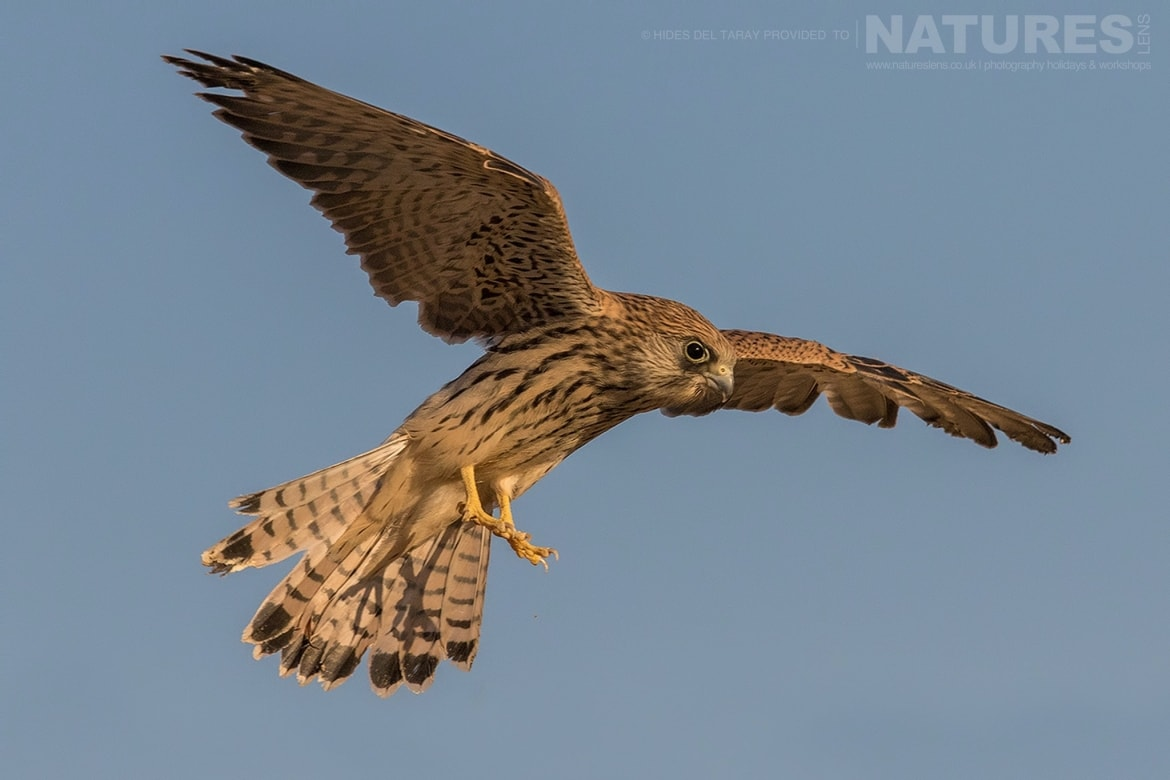 One Of The Young Lesser Kestrels Hovering In The Air Photographed On The Estate Used For The NaturesLens Spanish Birds Of Toledo Photography Holiday