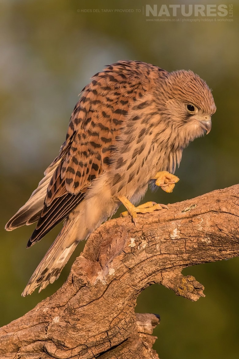 One Of The Young Lesser Kestrels Perched On A Branch Photographed On The Estate Used For The NaturesLens Spanish Birds Of Toledo Photography Holiday