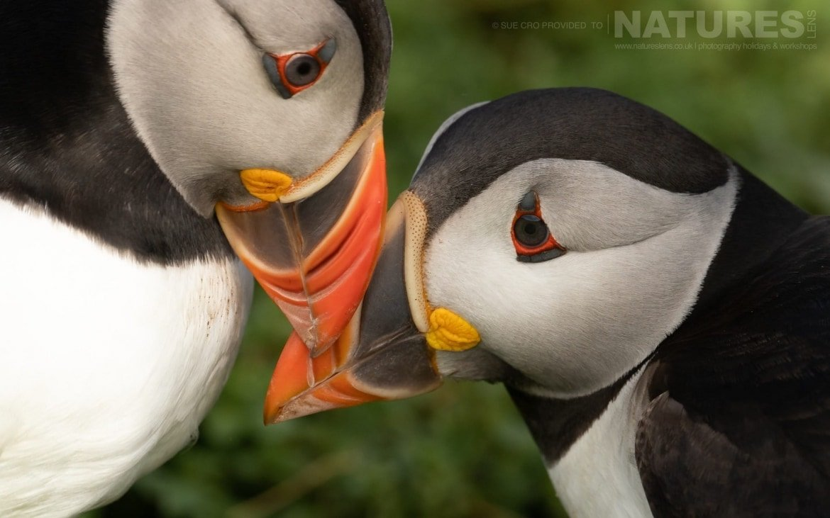 Reaffirming Their Bonds, This Pair Of Puffins Makes For A Classic Skomer Image Photographed During The NaturesLens Atlantic Puffins Of Skomer Photography Holiday