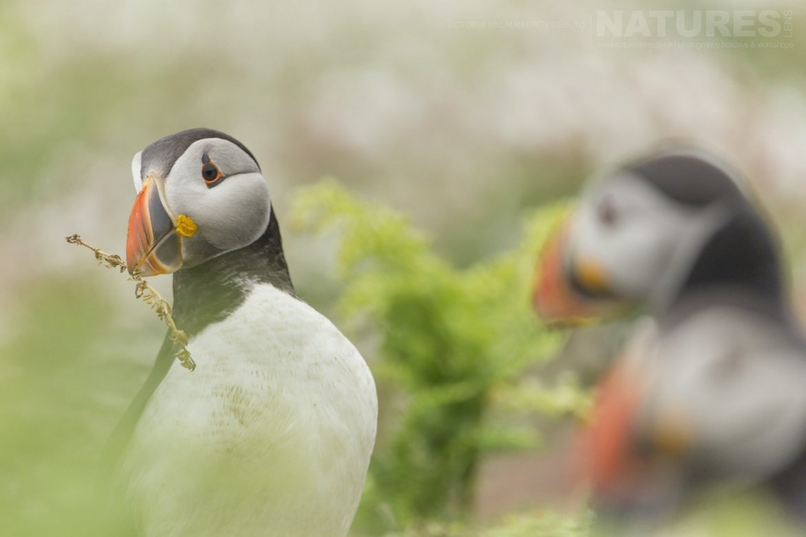 Some Of Skomers Puffins   Photographed By Victoria Hillman