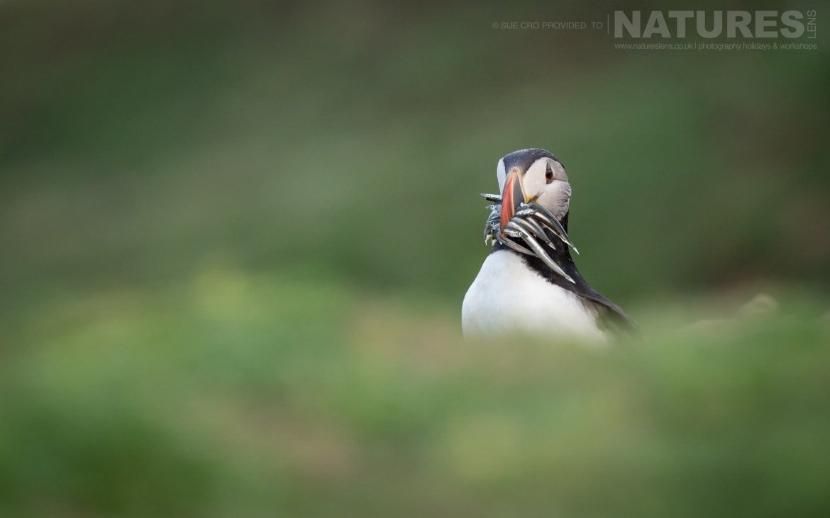 Standing Amongst The Sea Campion With A Beak Full Of Sand Eels, This Puffin Poses For A Classic Skomer Image Photographed During The NaturesLens Atlantic Puffins Of Skomer Photography Holiday