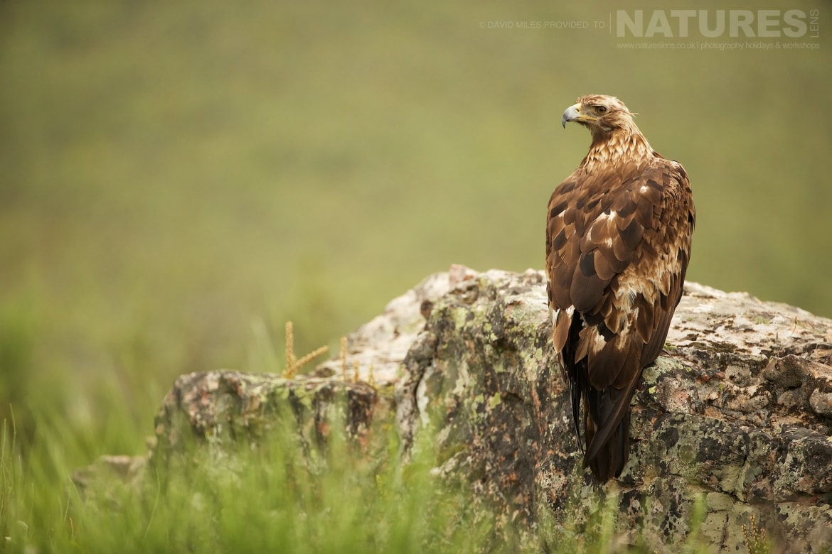 The Female Golden Eagle Perched On A Rock At The Mountain Side Hide Site Photographed On The Estate Used For The NaturesLens Eagles Of Extremadura Photography Holiday