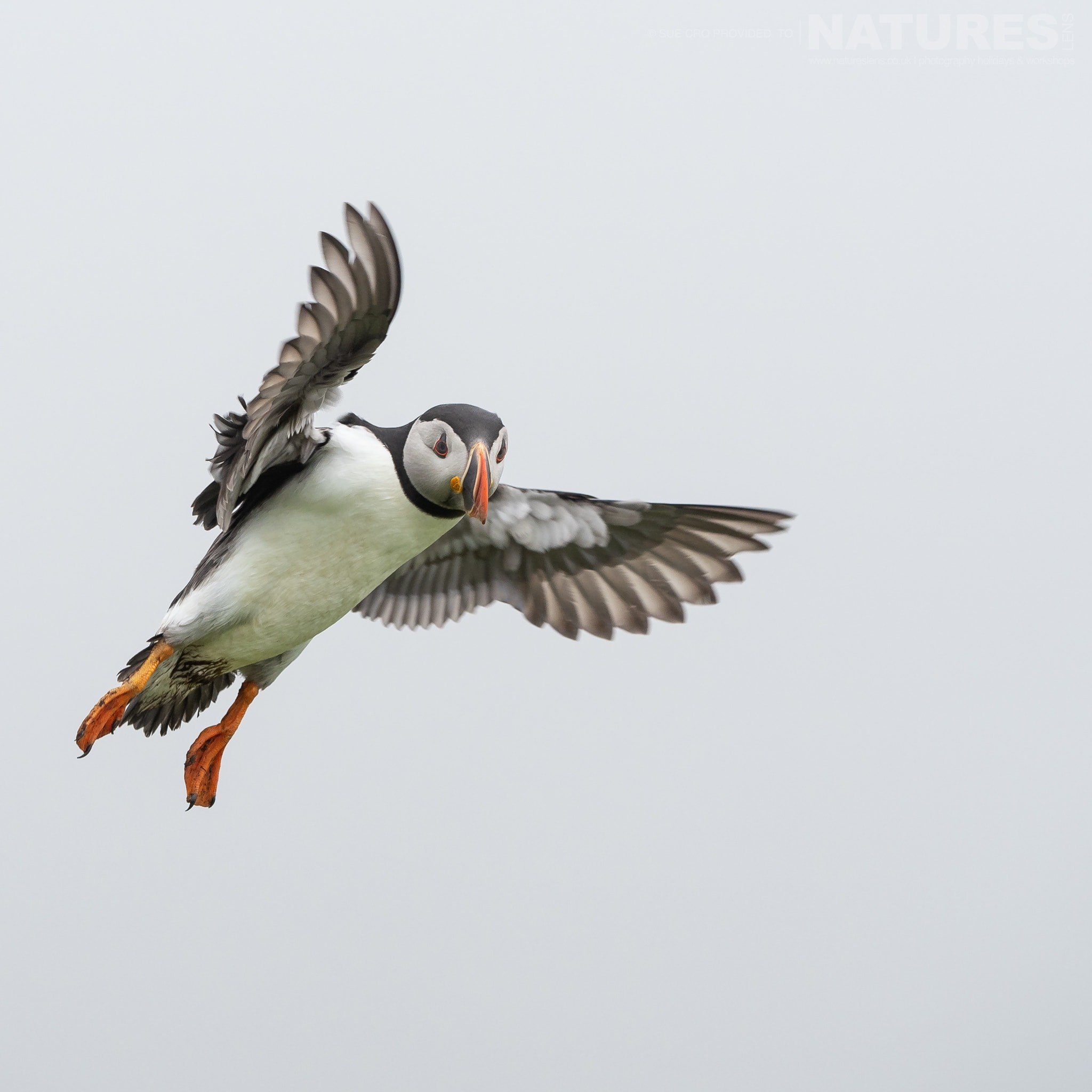 This Puffin In Flight Makes For A Classic Skomer Image   Photographed During The NaturesLens Atlantic Puffins Of Skomer Photography Holiday