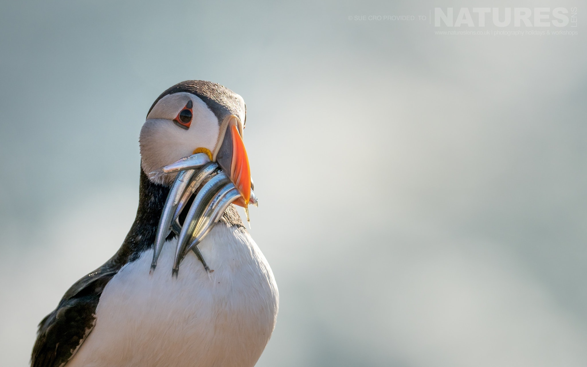 With A Beak Full Of Sand Eels, One Of Skomer's Puffins Poses For The Classic Skomer Image   Photographed During The NaturesLens Atlantic Puffins Of Skomer Photography Holiday