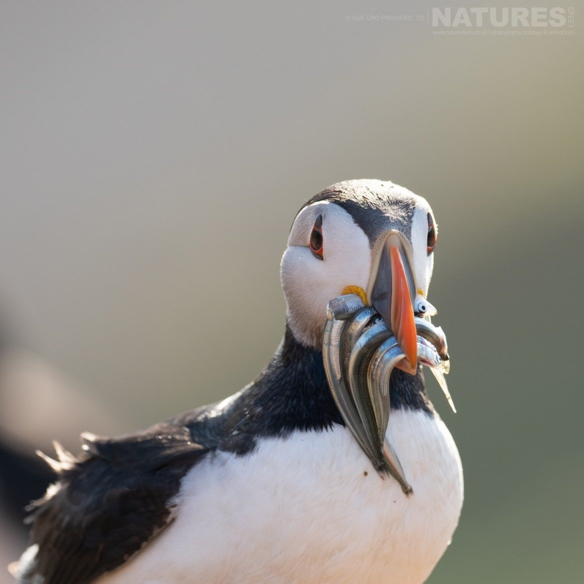 With A Beak Full Of Sand Eels, This Puffin Poses For The Classic Skomer Image Photographed During The NaturesLens Atlantic Puffins Of Skomer Photography Holiday