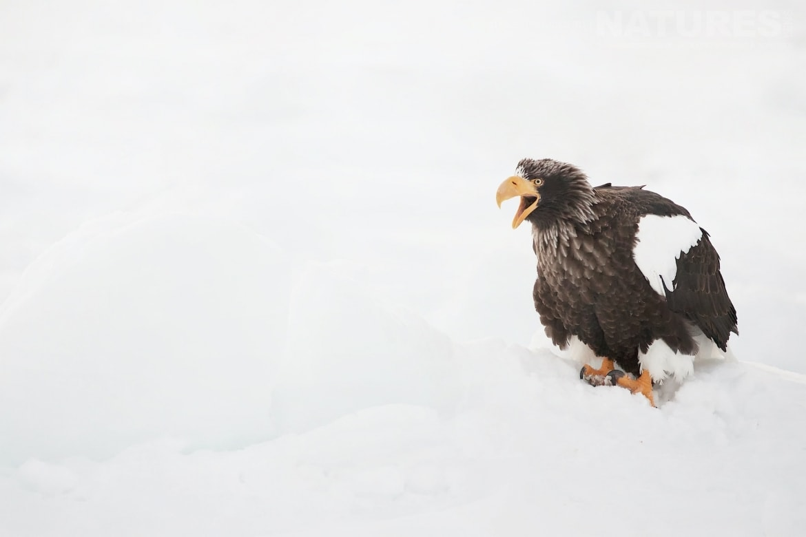 A Steller's Sea Eagle Calls Out Whilst Perched On The Drift Ice Outside Rausu   Photographed During The Winter Wildlife Of Japan Photography Holiday