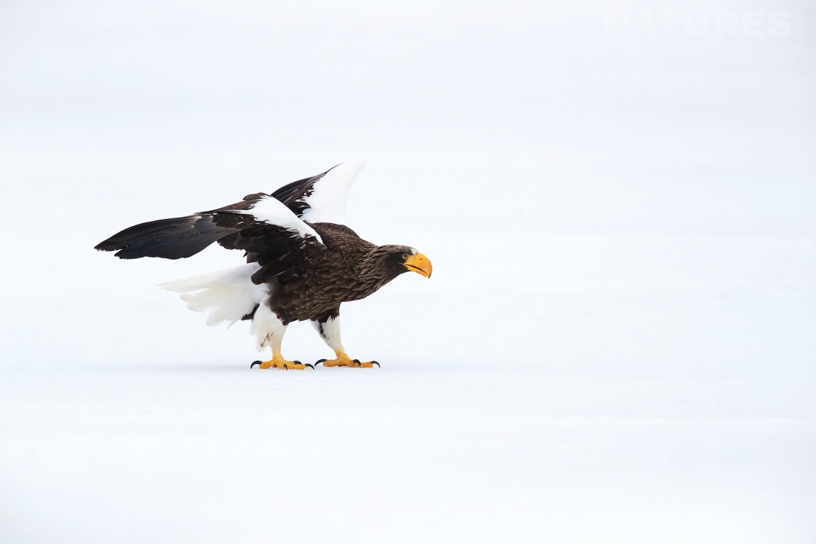 A Steller's Sea Eagle Strides Across The Ice Of A Frozen Lake Photographed During The Winter Wildlife Of Japan Photography Holiday