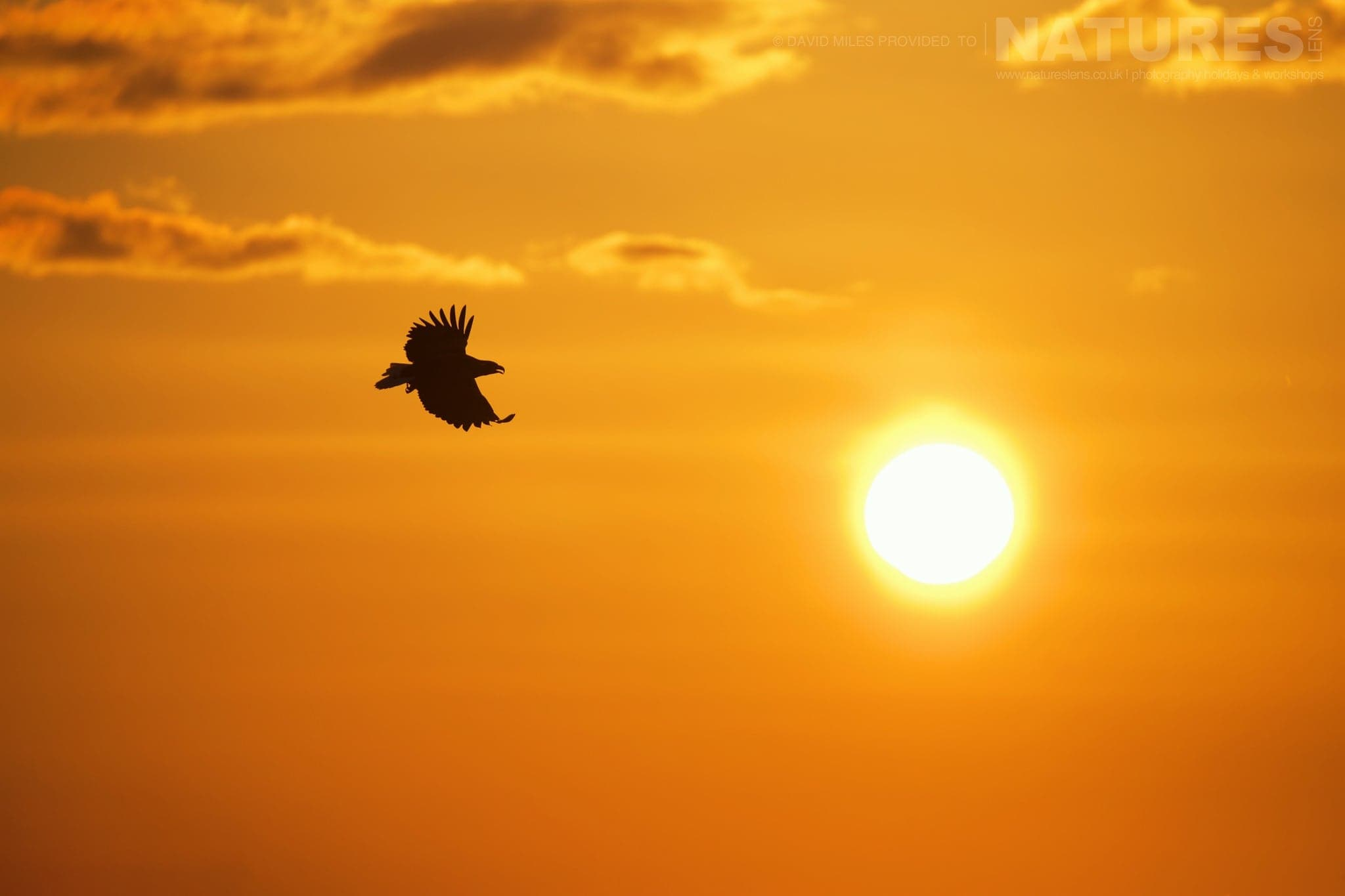 A White Tailed Sea Eagle Flies Across The Orange Sky Of Sunrise   Photographed During The Winter Wildlife Of Japan Photography Holiday