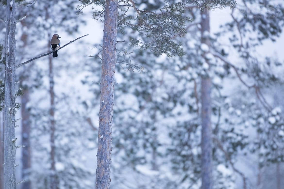 A Jay Perched High In The Trees   Photographed During The Golden Eagles Of The Swedish Winter Photography Holiday