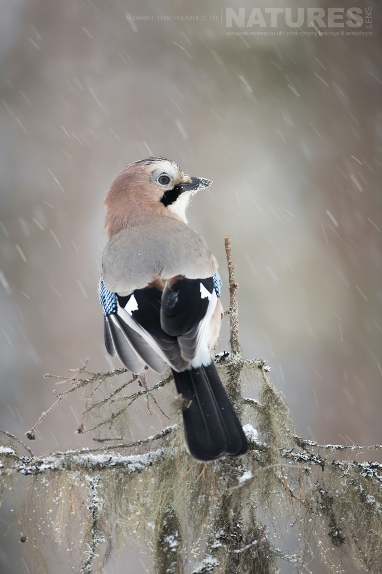 A Jay Perched   Photographed During The Golden Eagles Of The Swedish Winter Photography Holiday
