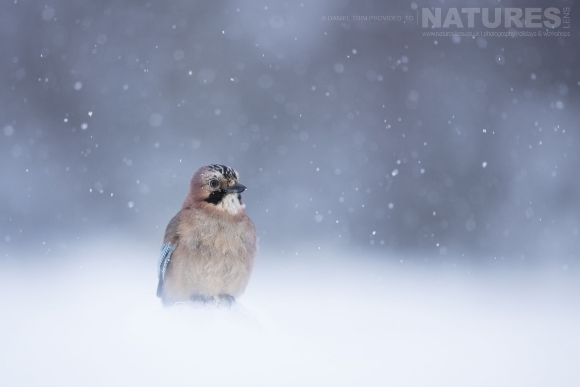 A Jay   Photographed During The Golden Eagles Of The Swedish Winter Photography Holiday
