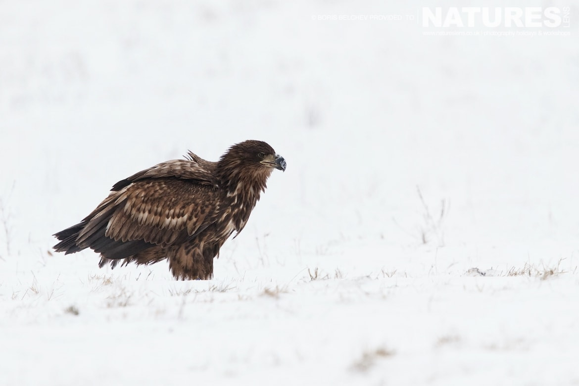 A Juvenile White Tailed Sea Eagle On The Snow Of A Frozen Pasture On The Nemunas Delta   Photographed At The Locations Used For The NaturesLens White Tailed Sea Eagles Of Lithuania Photography Holiday