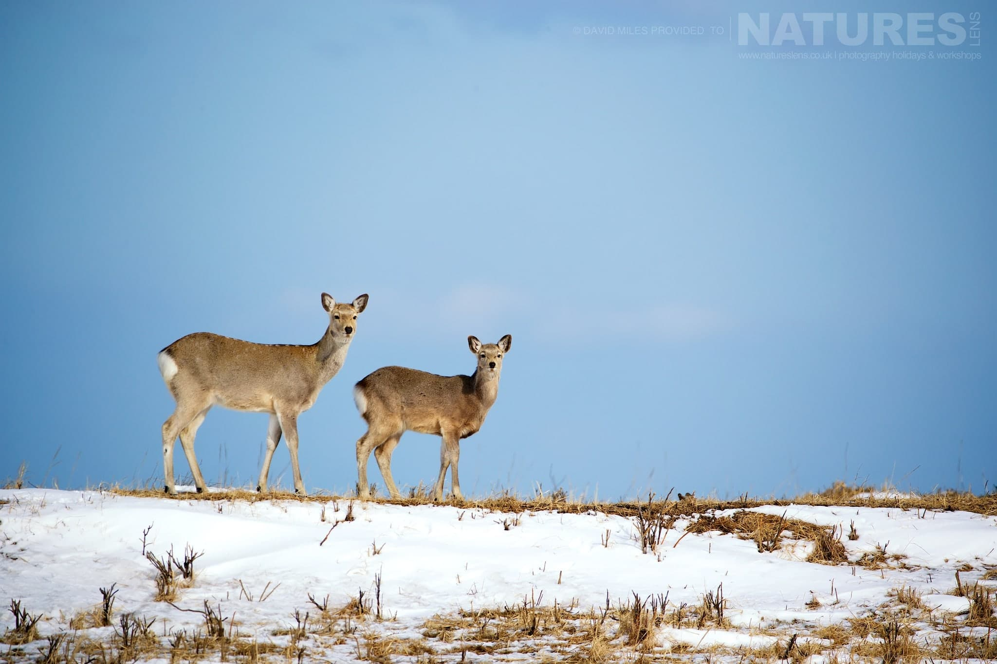 A Pair Of Sika Deer On One Of The Penninsulas   Photographed During The Winter Wildlife Of Japan Photography Holiday