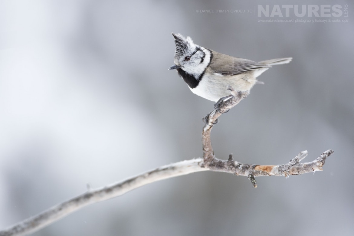 A Perched Crested Tit   Photographed During The Golden Eagles Of The Swedish Winter Photography Holiday