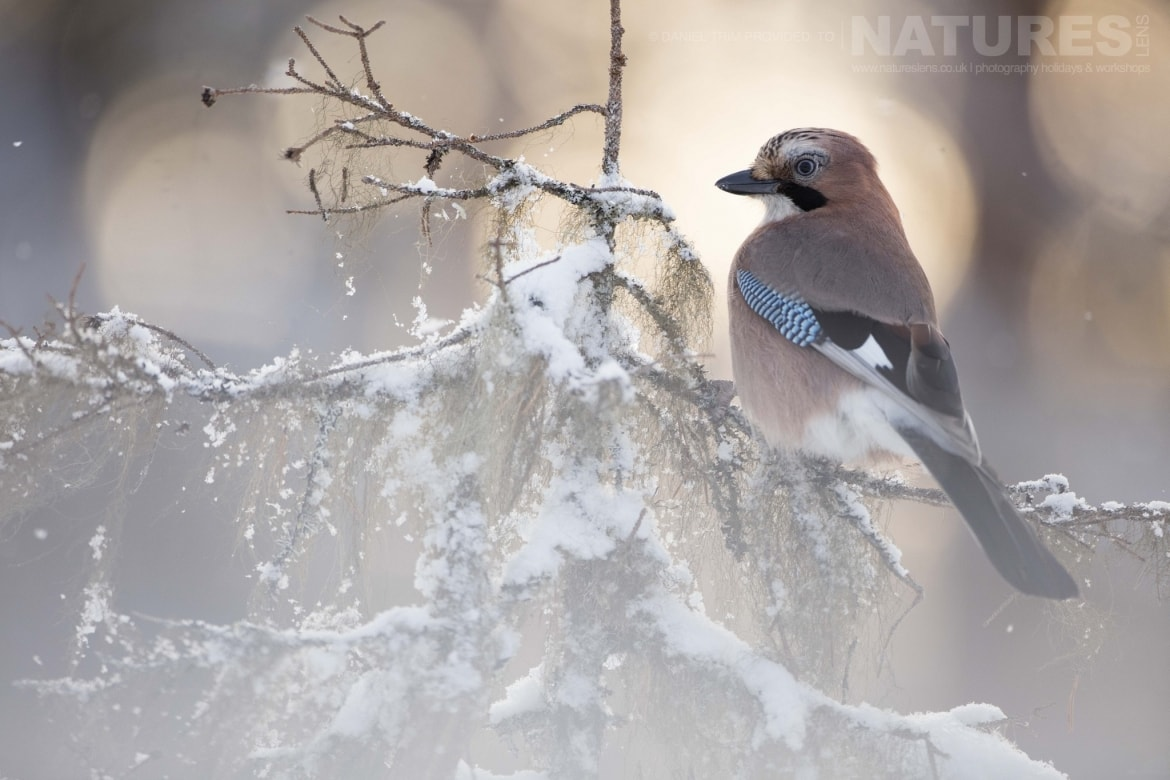 A Perched Jay   Photographed During The Golden Eagles Of The Swedish Winter Photography Holiday