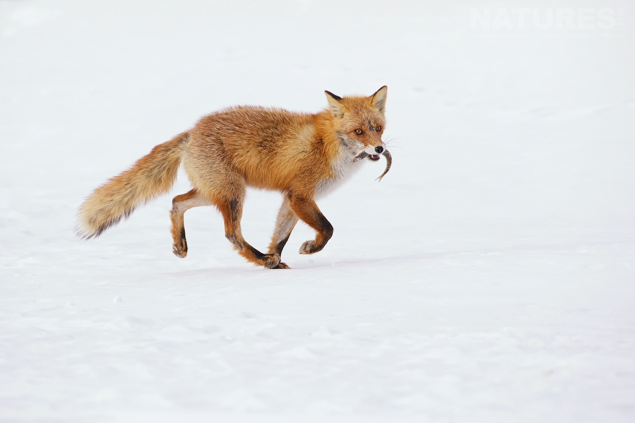 A Red Fox Makes An Escape With A Fish   Photographed During The Winter Wildlife Of Japan Photography Holiday