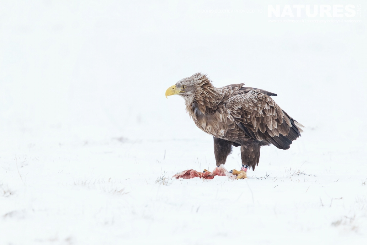 A Solitary White Tailed Sea Eagle On The Snow Of A Frozen Pasture On The Nemunas Delta Photographed At The Locations Used For The NaturesLens White Tailed Sea Eagles Of Lithuania Photography Holiday