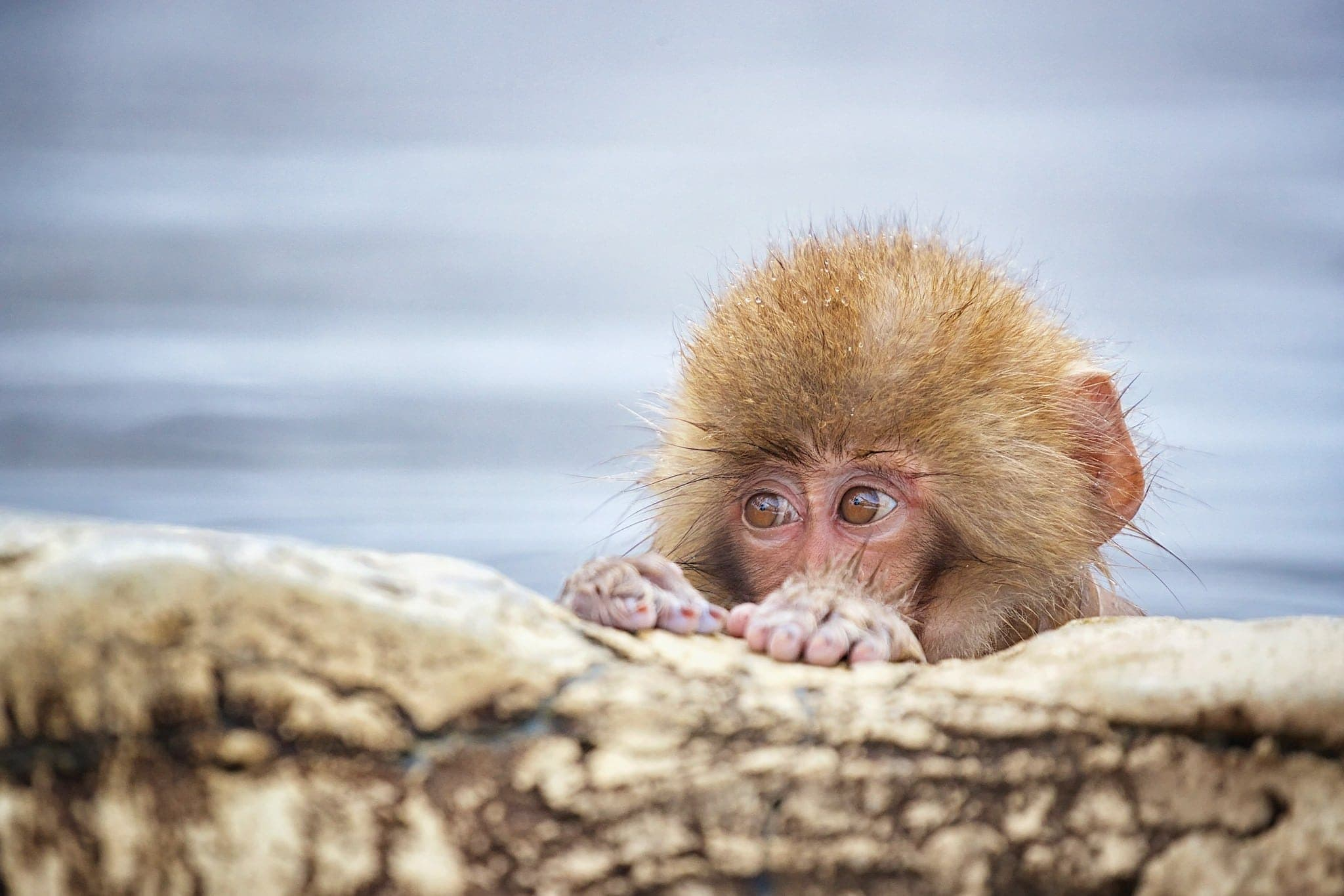 A Young Snow Monkey Peers Over The Edge Of The Thermal Pool   Photographed During The Winter Wildlife Of Japan Photography Holiday