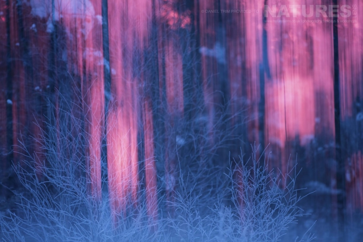 An Otherworldly Glow Within The Forest Captured During The During The Golden Eagles Of The Swedish Winter Photography Holiday