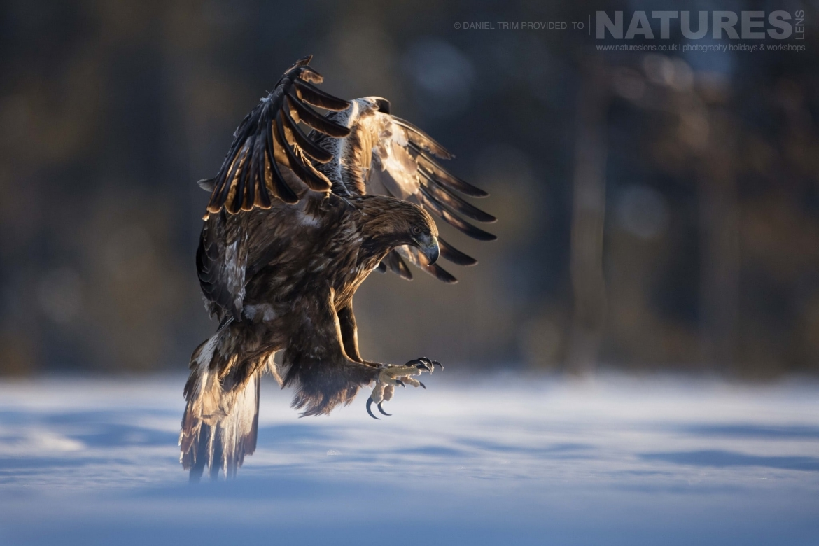 Coming In For A Landing On The Snow, One Of The Golden Eagles   Photographed During The Golden Eagles Of The Swedish Winter Photography Holiday