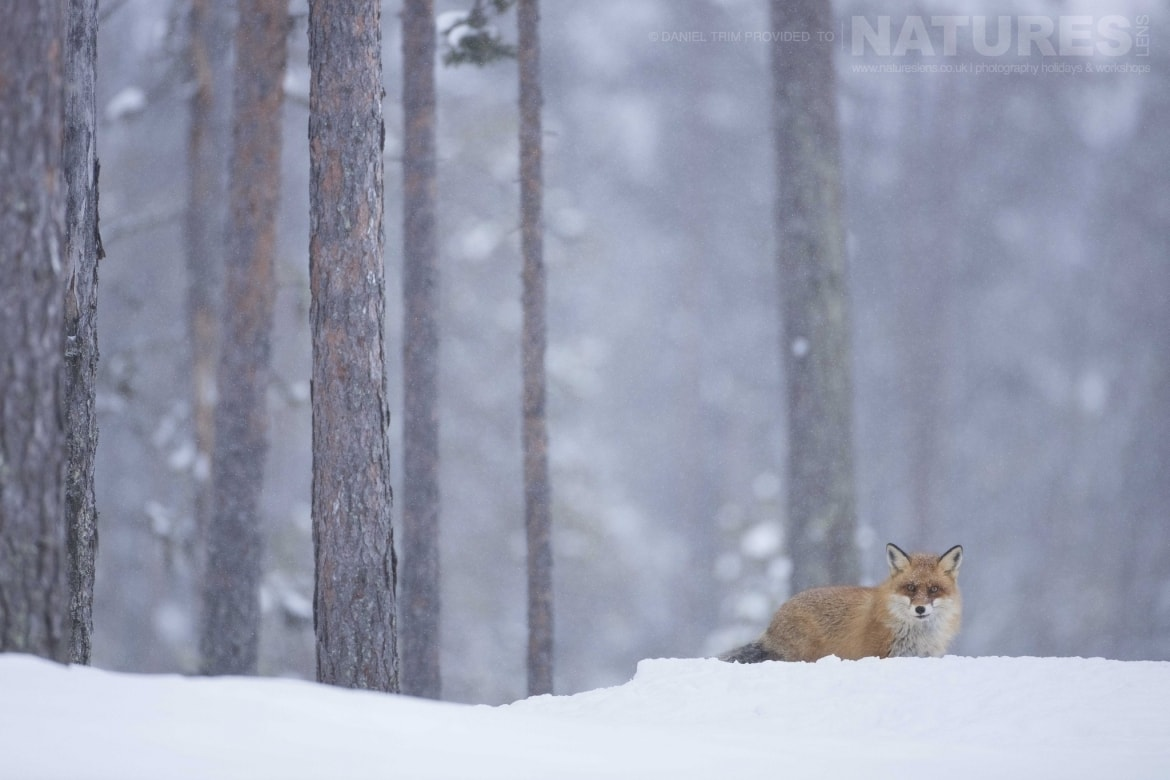 Emerging From The Forest, One Of The Local Red Foxes Photographed During The Golden Eagles Of The Swedish Winter Photography Holiday