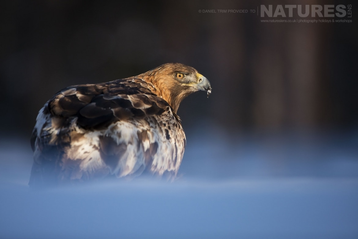Illuminated In The Late Afternoon Sun, One Of The Golden Eagles   Photographed During The Golden Eagles Of The Swedish Winter Photography Holiday
