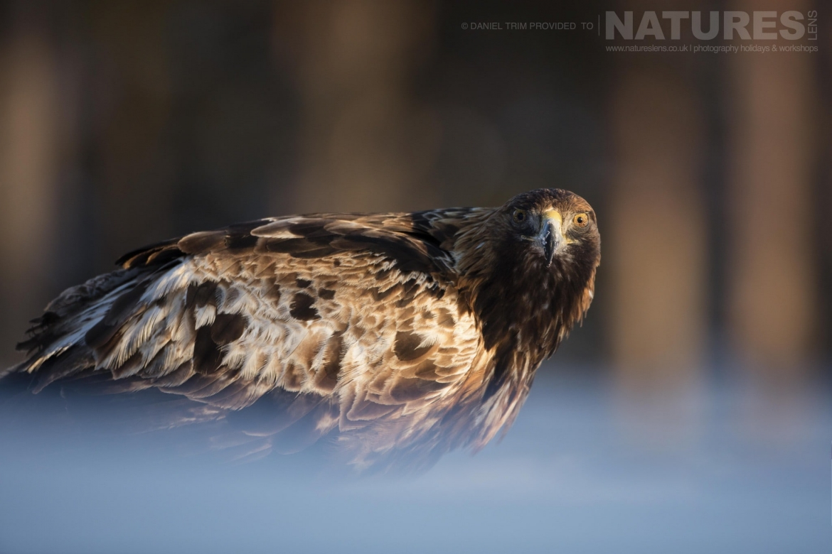 Illuminated In The Late Afternoon Sun, One Of The Golden Eagles Stares At The Hide   Photographed During The Golden Eagles Of The Swedish Winter Photography Holiday