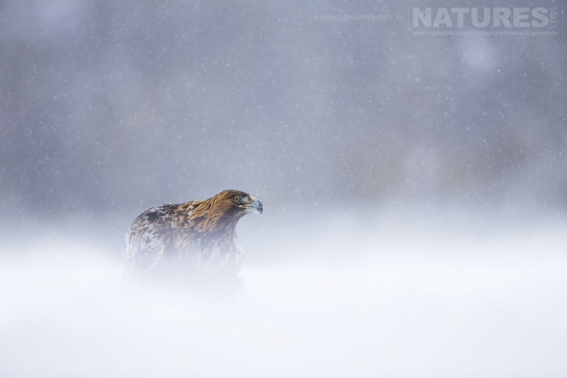In A Snow Storm, One Of The Golden Eagles Photographed During The Golden Eagles Of The Swedish Winter Photography Holiday
